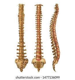 The human spine. Vertebral column. Backbone. Anterior, posterior, lateral sides. Vector illustration isolated on white background.