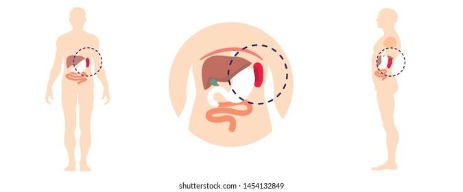 Human spleen icons set. Flat set of human spleen vector icons for web design
