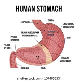 Anatomy Human Stomach Medical Poster Detailed Stock Vector Royalty