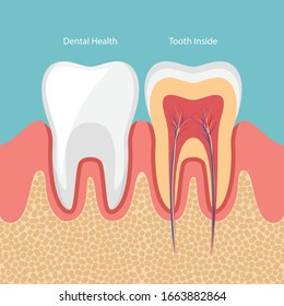 Human teeth, Dental Healthy and Tooth Inside. Vector illustration.