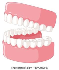 Human teeth model on white background