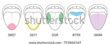 Human Tongue Five Taste Areas Bitter Stock Vektorgrafik Lizenzfrei