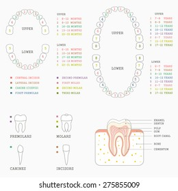 dental chart images stock photos vectors shutterstock rh shutterstock com teeth diagram chart Teeth Diagram Labeled