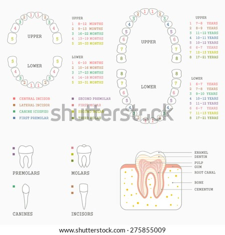 Human Tooth Anatomy Chart Diagram Teeth Stock Vector Royalty Free