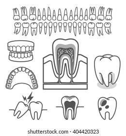 Human tooth anatomy. Vector illustration.