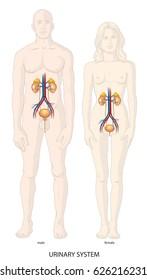 Human urinary sysrtem