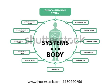 humen endocannabinoid system stock vector royalty free 1160990956