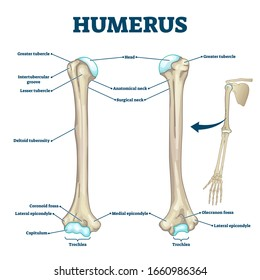 Humerus bone labeled vector illustration diagram. Long bone type in the upper arm. Skeleton anatomy scheme with greater tubercle, deltoid tuberosity, medial epicondyle, trochlea and other parts.