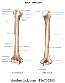 Humerus- upper arm bone.  Detailed medical illustration from front and behind. Latin medical terms. Isolated on a white background.