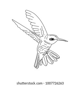 Humming bird, Colibri hand drawn line art isolated in white background.