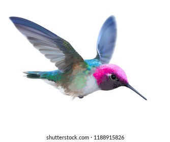 Hummingbird - Calypte  anna. Hand drawn vector illustration of a flying male Anna's hummingbird with colorful glossy plumage on transparent background.