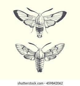hummingbird hawk-moth and Broad-bordered bee hawk-moth. graphic illustration of moth
