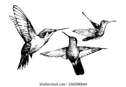 Hummingbird sketch vector, Colibri Sketch illustration vector, Hand drawn humming bird isolated on white