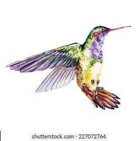 Hummingbird, watercolor painting