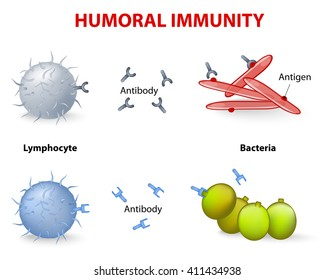 humoral immunity. Lymphocyte, antibody and antigen. Vector diagram