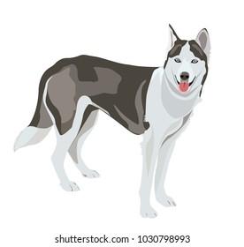 Huskey wolf dog - vector illustration