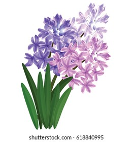 Hyacinth plant, a bouquet of spring flowers, Bush. Vector illustration.