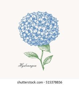 Hydrangea vintage illustration. Engraved style botanical flower illustration. Vector