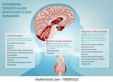 Hypophysis, pituitary and thyroid gland hormones infographic image. Detailed anatomy of the human brain cross section. Vector illustration in bright colours on a light blue background.