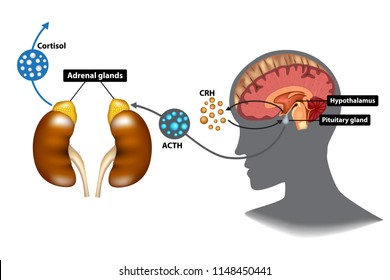 Hypothalamic pituitary adrenal (HPA) axis - the stress response system