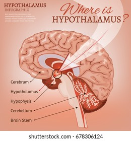 Hypothalamus Images, Stock Photos & Vectors | Shutterstock