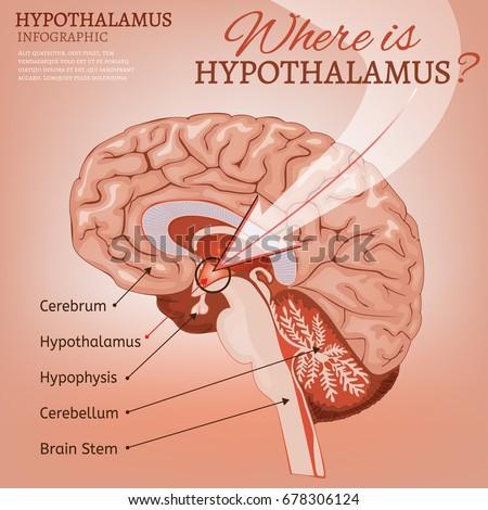 Hypothalamus Infographic Image Detailed Anatomy Human Stock Vector
