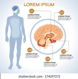 Hypothalamus. Modern medical infographics. Internal organs in a human body. Anatomy of people