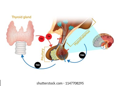 Hypothalamus Pituitary Thyroid Hormone. The system of the thyroid hormone