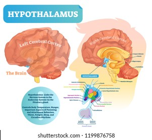 Hypothalamus vector illustration. Labeled diagram with brain part structure. Isolated closeup with pituitary gland parts. Scheme with nucleus, chiasma, and nerves.