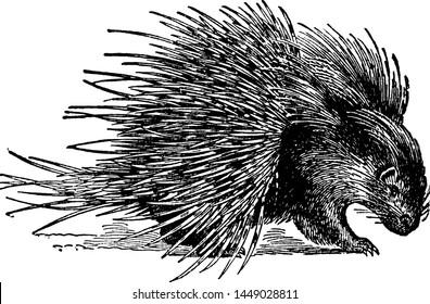 Hystrix Crystata Porcupine, vintage illustration.