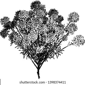 Iberis Sempervirens are pure white flowering plant, vintage line drawing or engraving illustration.