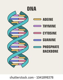 Icon of the structure of the DNA molecule. Spiral Deoxyribonucleic acid (DNA) with formula and description of components: cytosine, guanine, adenine, thymine, nitrogenous base of DNA.
