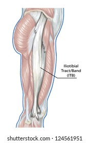 Iliotibial Tract - didactic board of anatomy of leg human muscular system