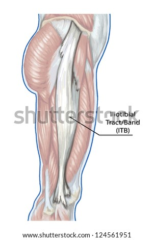 Iliotibial Tract Didactic Board Anatomy Leg Stock Vector (Royalty ...
