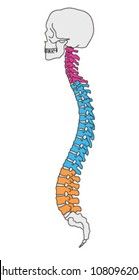 Illustrated human section of vertebral column and skull