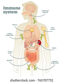 Illustrated vector human immune system full diagram