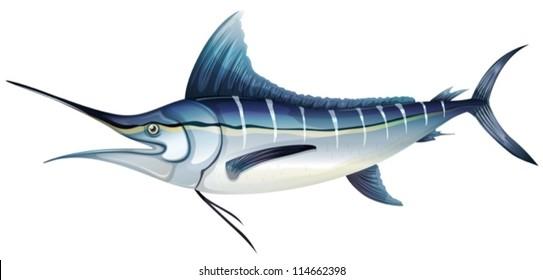 Illustration of anAtlantic blue marlin (Makaira nigricans)