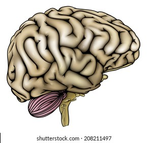 An illustration of an anatomically correct human brain