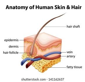 Illustration of the anatomy of human skin and hair