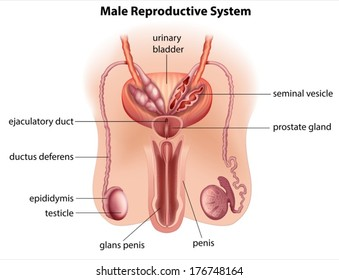 Male reproductive system images stock photos vectors shutterstock illustration of the anatomy of the male reproductive system on a white background ccuart