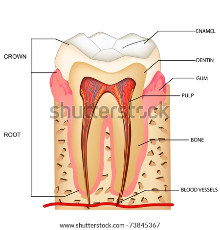 Illustration Anatomy Teeth Labeling Stock Vector (Royalty Free ...