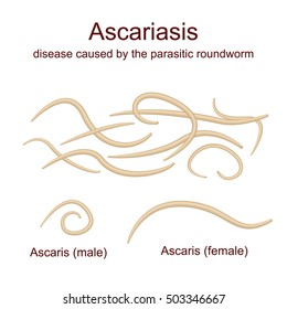 Illustration Ascaris - roundworms, parasites, male and female. Realistic images of worm on a white background.