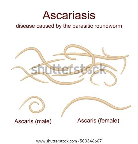 Illustration Ascaris roundworms parasites