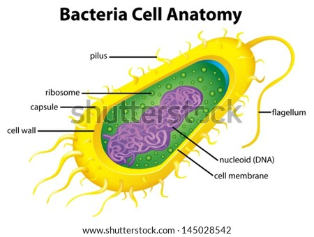 Bacterial Cell Wall Concept Map.Illustration Bacteria Cell Structure Stock Vector Royalty Free