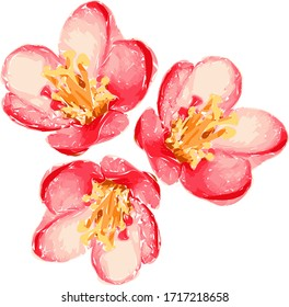 Illustration of beautiful gentle red spatial flowers isolated on white background. Single flowering quince suitable for unique arrangement. Vector.