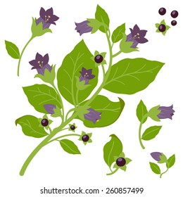 Illustration of a belladonna plant on white background, isolated