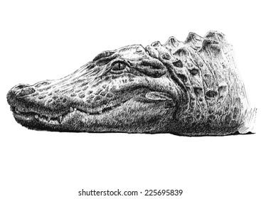 illustration with a big head of a crocodile (hand draw)