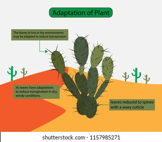 illustration of biology, Adaptation of Plant, The leaves in hot or dry environments may be adapted to reduce transpiration, Desert plants, Cactus drawing