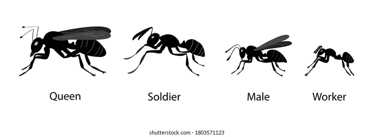Illustration of biology and animal, Type of ant, A queen ant is an adult, reproducing female ant in an ant colony