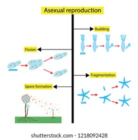 illustration of biology, Asexual reproduction is a type of reproduction by which offspring arise from a single organism, and inherit the genes of that parent only, Asexual reproduction diagram
